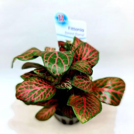 Fittonia 'Forest Flame'